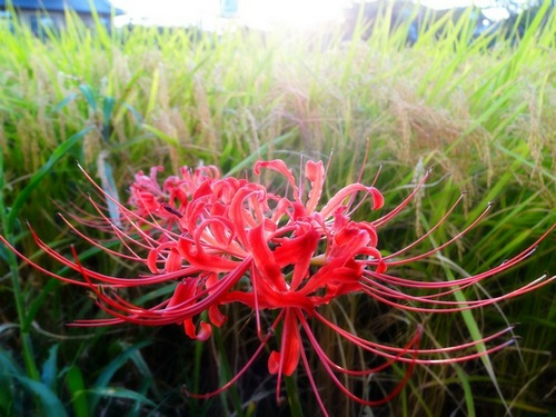 one_spider_lilly_bright2_500