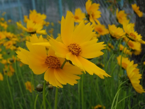 140521_tall_yellow_flowers_500