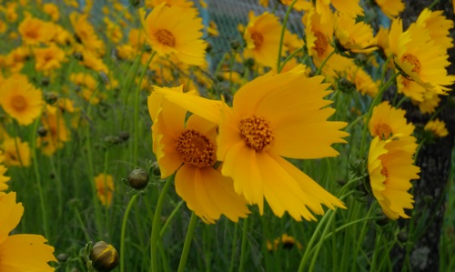 140521_tall_yellow_flowers_wind2_500