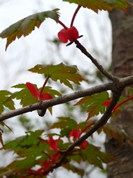 140525_red_green_leaves_190