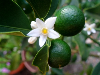 140820_kumquats_and_blossoms_2_400