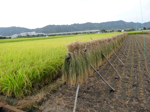 141004_rice_harvested_500