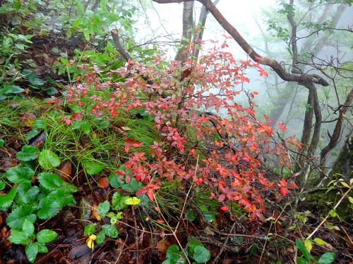 141012_red_bush_fog_500