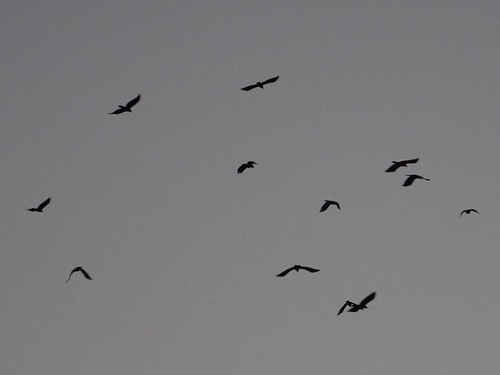 150131_crows_500