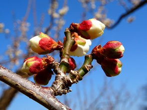 150215_white_plums8_295