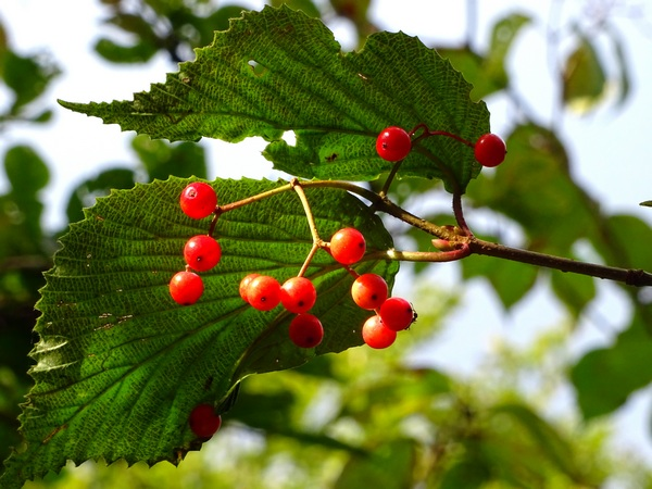 151004_red_berries_green_600