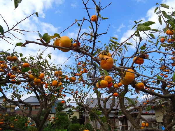 151025_persimmons6_600