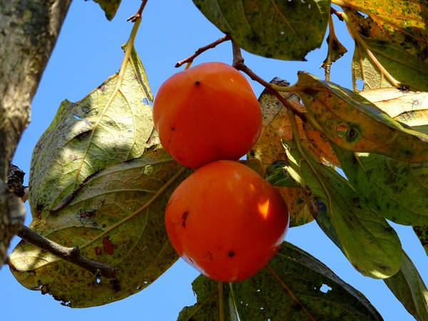 151025_persimmons7_600