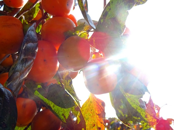 151025_persimmons9_600