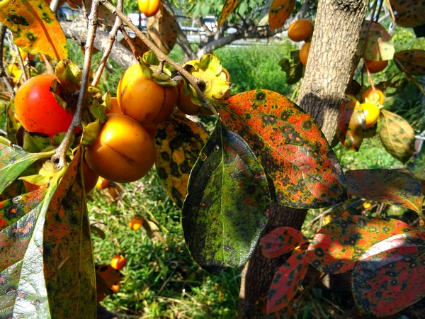 151025_persimmons_2_600