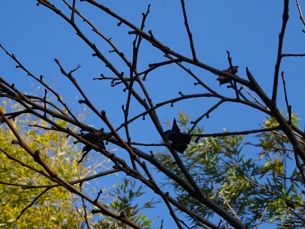 151224_Christmas_Eve_persimmon_Branches_600