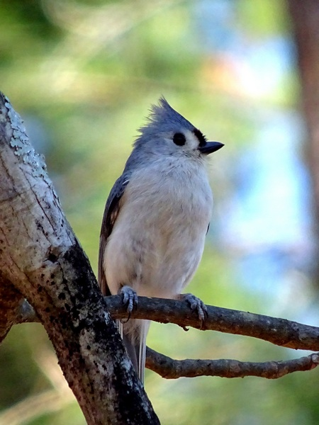 160315_tufted_titmouse_450