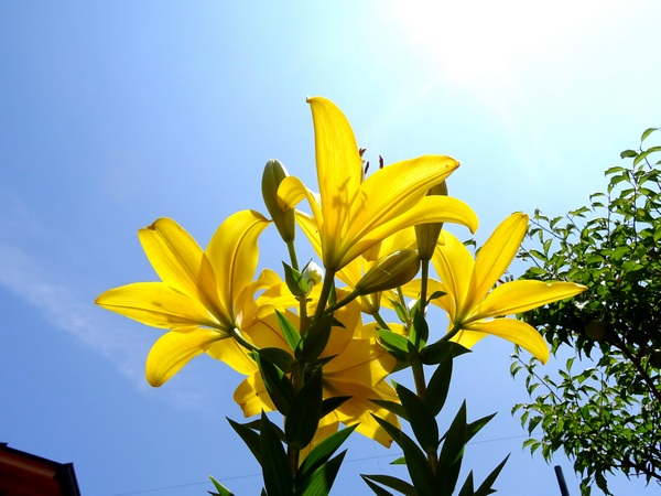 160529_yellow_lilies_blue_sky_2_600