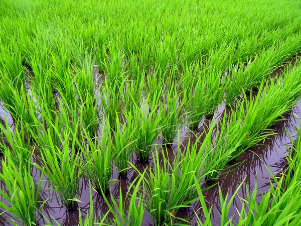 160706_green_green_rice_field_600