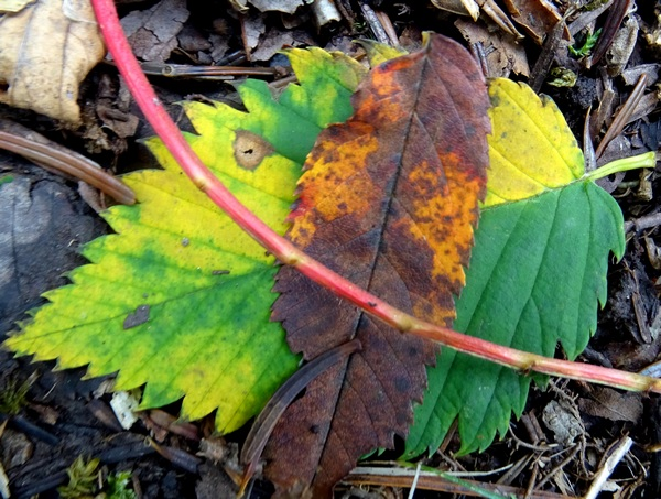 160821_yellow_leaf_red_steam_600