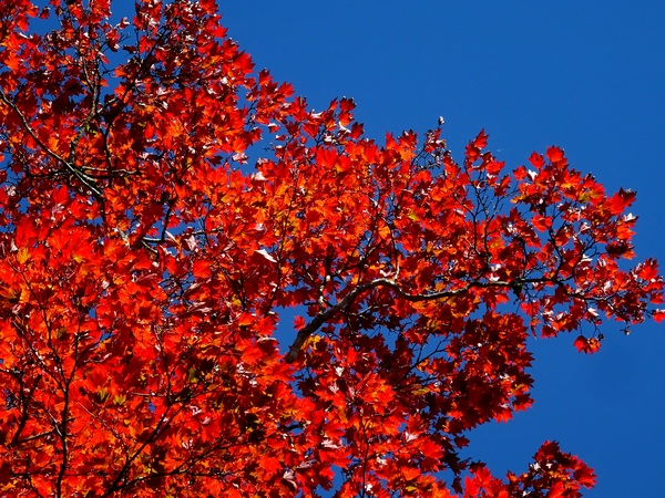161103_red_leaves_2_600