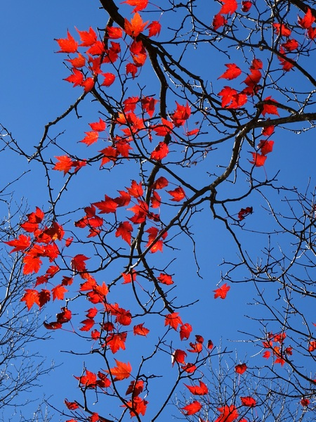 161103_red_leaves_450