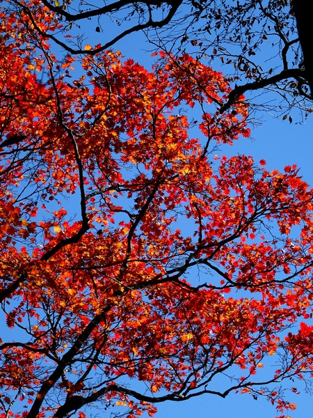 161103_red_tree_3_450