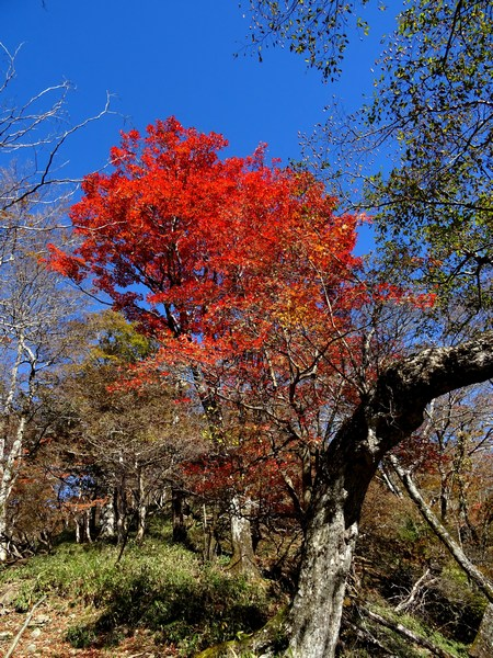 161103_red_tree_4_450