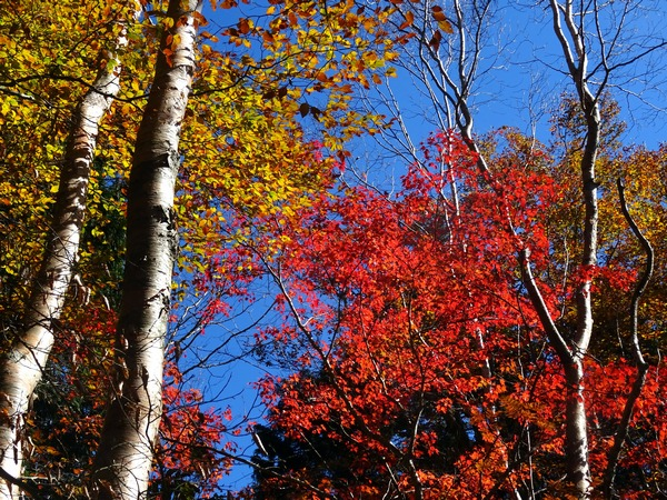 161103_yellow_and_red_leaves_2_600