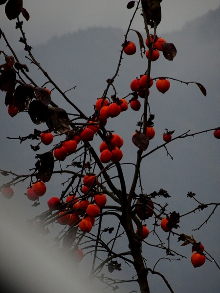 161127_rainy_day_persimmons_1_600