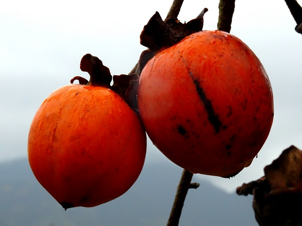 161127_rainy_day_persimmons_2_600