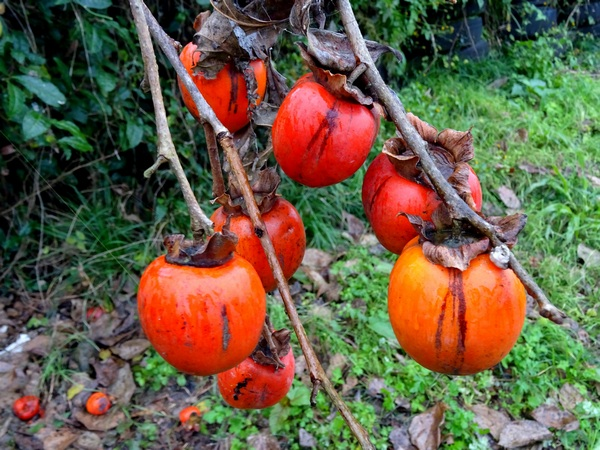 161127_rainy_day_persimmons_8_600