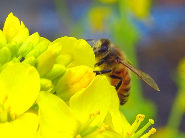 170405_rape_flowers_bee_600