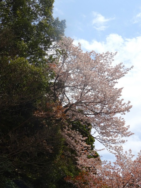 170406_cherry_hillside_450