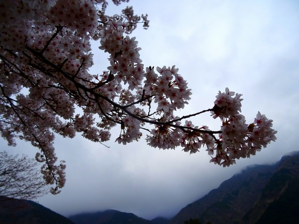 170423_cherry_blossoms_2_600