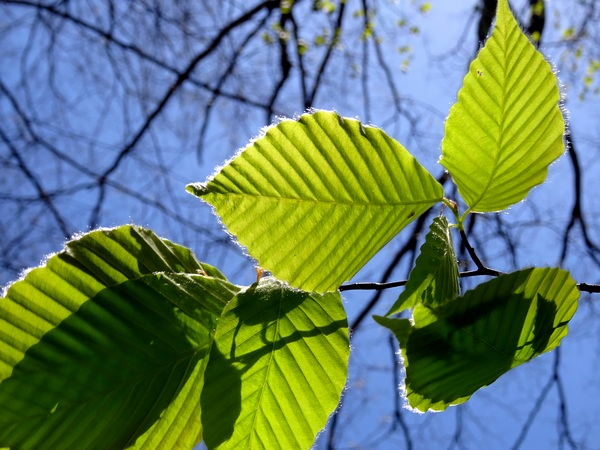 170430_green_leaves_600