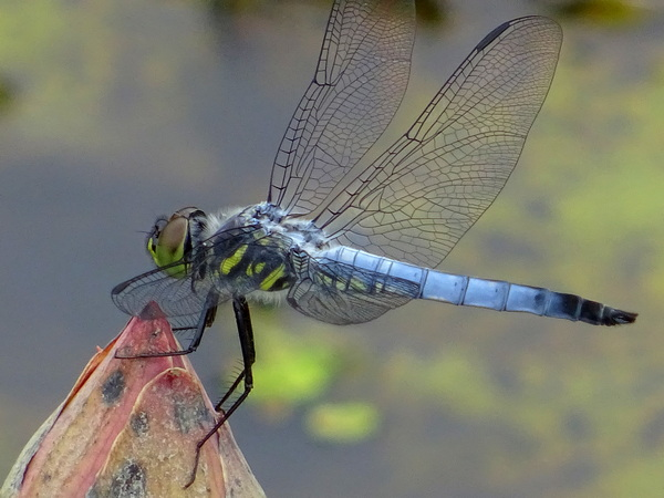 170627_dragonfly_lotus_bud_1b_600