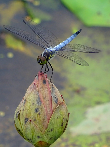 170627_dragonfly_lotus_bud_3_450
