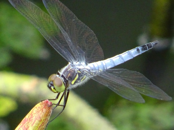 170627_dragonfly_lotus_leaf_600