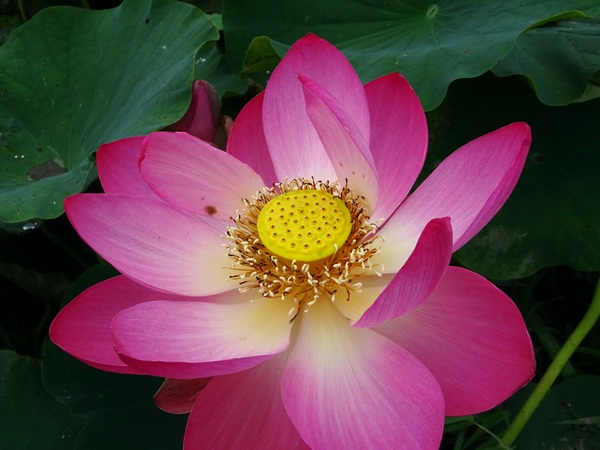170627_lotus_flower_single_600